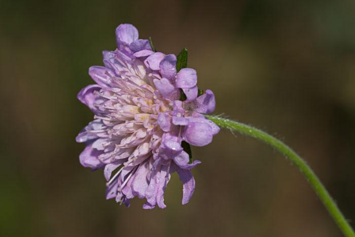 Field-Scabious-(Knautia-arvensis) Trumpington Meadows