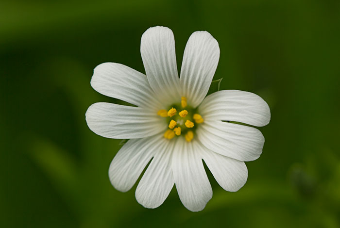 Greater-Stitchwort