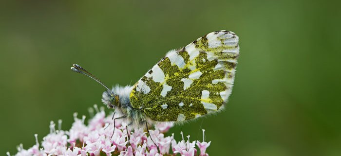 beautiful british butterflies