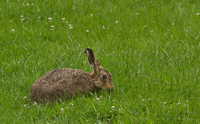 Hare-on-the-lawn