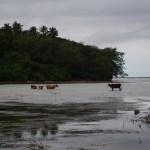 Tonga, Cows