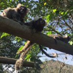 Monkey, invasion, Paraty