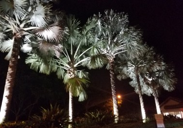 Bismarck Palm Trees @ the Front Gate on Jog Road
