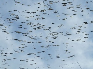 spring-snow-goose-hunts-300x225