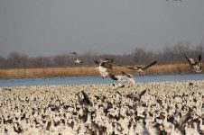 Squaw Creek National Wildlife Refuge often peaks at over one million snow geese in the spring. It is not the only place that stages large numbers of birds but it is the only place that they are so visible. There is a road all around the pool that the geese stage on that allows the public to easily view this magnificent spectacle.