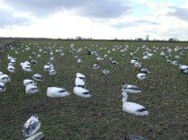 Decoy set in winter wheat on a Missouri snow goose hunt
