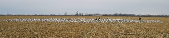Spring Snow Goose Hunts 2014_020