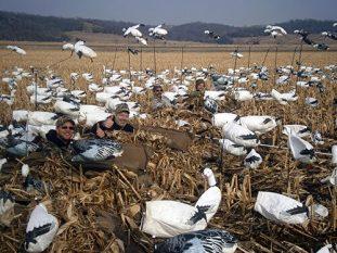 Spring Snow Goose Hunting