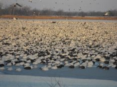 Missouri Snow Geese staged on the refuge