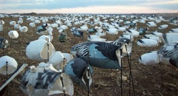 All of our snow goose decoy spreads are 2000 strong for 2013.