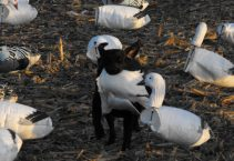 Mickey's dog retrieving a downed snow goose.