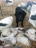 Arkansas Snow Goose Hunts