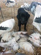 Arkansas Snow Goose Hunts