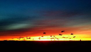 Snow Goose Flyer sunset
