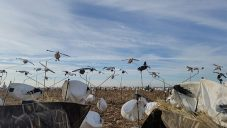 View of the snow goose spread from my blind