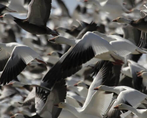 saskatchewan ca guided duck goose hunts