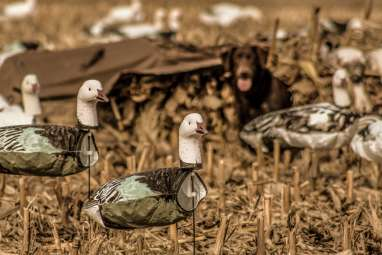 Iowa Snow Goose Hunts