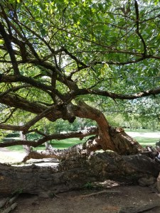 Ancient Osage Orange Tree in Old Fort Harrod, Mercer County KY