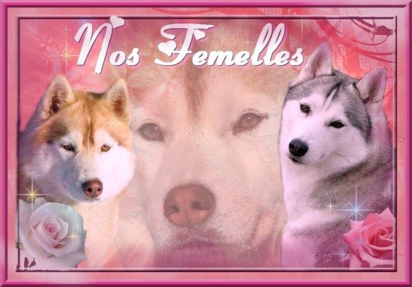 Nos femelles Siberian Husky