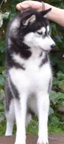 husky à vendre var