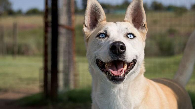 Adopt Lilo Husky Rescue South Africa