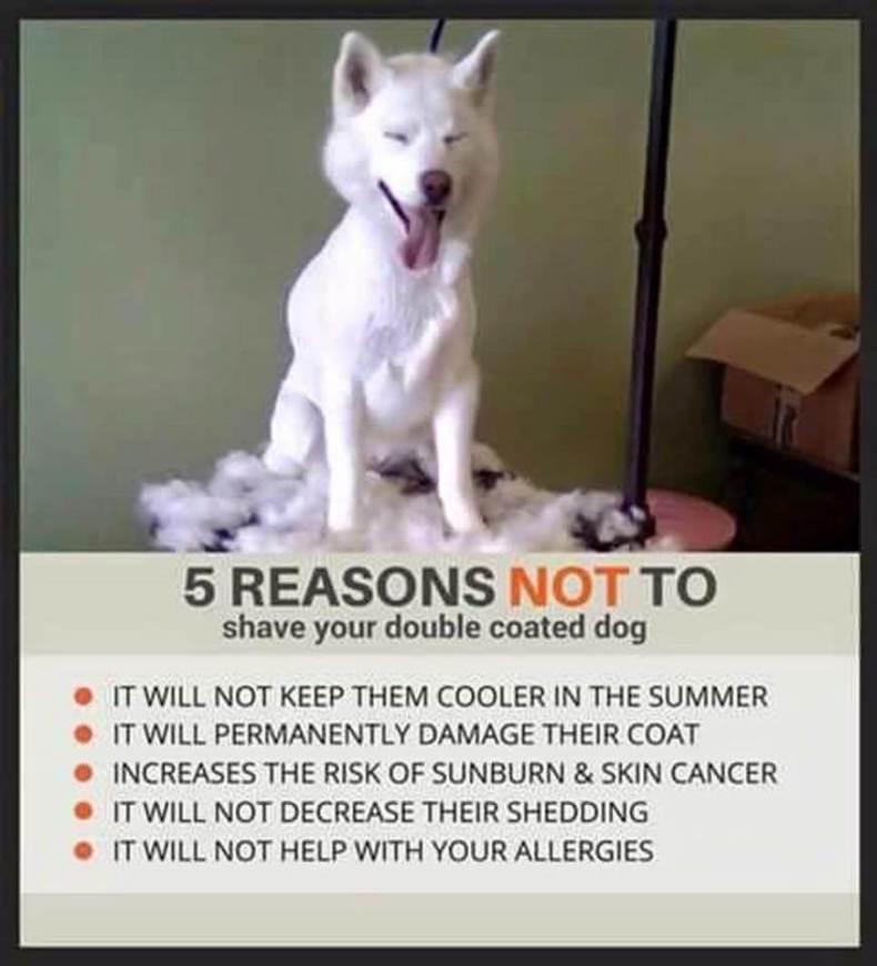 Never Shave a Husky