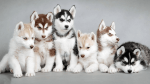 Coat colors of the Siberian Husky