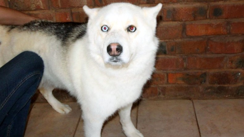 Adopt King Husky Rescue South Africa