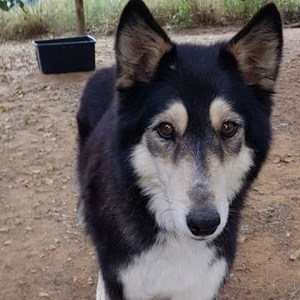 Adopt Kylie - Husky Rescue South Africa