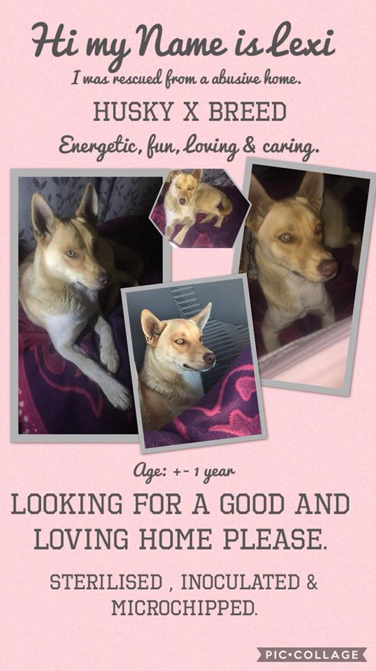 Adopt Lexi Husky Rescue South Africa