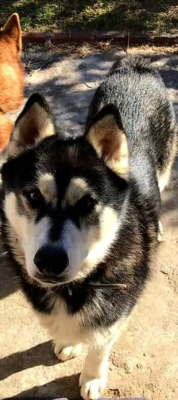 Adopt MAX Husky Rescue South Africa
