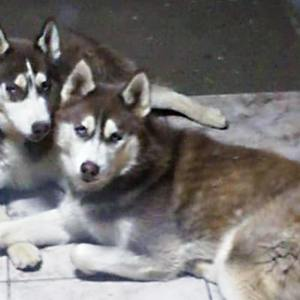 Adopt King or Major Husky Rescue South Africa