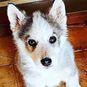 Adopt Kelvin Husky Rescue South Africa