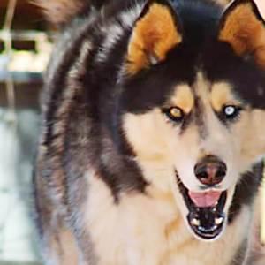 Adopt Akira Husky Rescue South Africa
