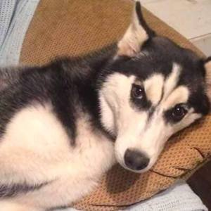 Adopt Willow Husky Rescue South Africa