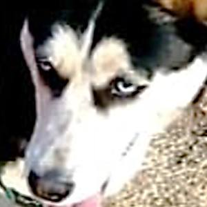 Adopt Zsa Zsa Husky Rescue South Africa