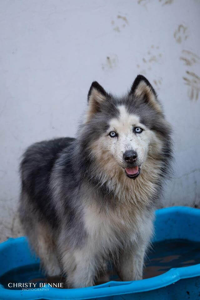 Adopt Crystal Husky Rescue South Africa