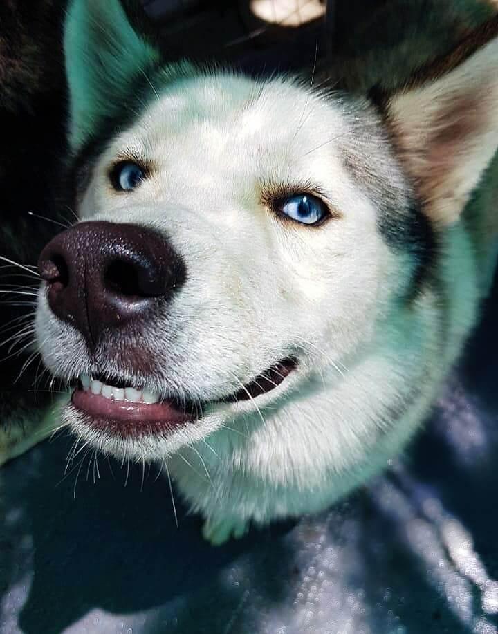 Adopt Ben Husky Rescue South Africa