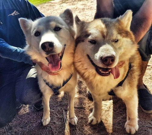 Adopt Tyler - Husky Rescue South Africa
