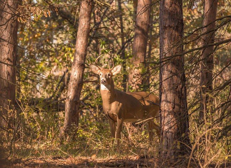 beautiful deer in the woods