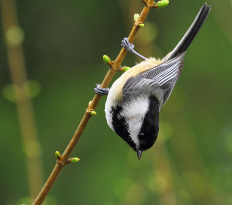 Image result for chickadee acrobat