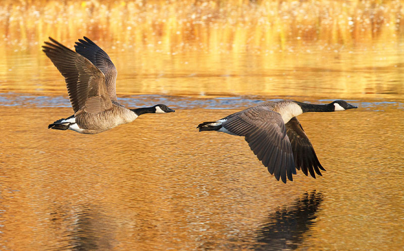 Image result for gif canadian geese landing on water
