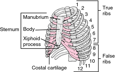 Xiphoid Process - Definition, Pain, Swelling, Removal and ...