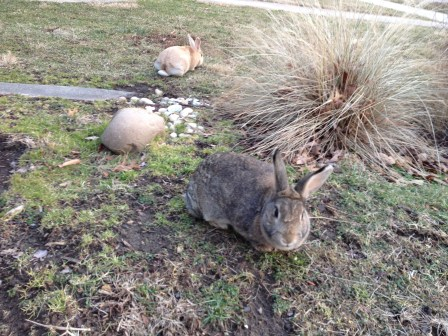 Two bunnies roaming near the intersection of 40th Avenue and Ingraham Street in Hyattsville's Historic District.