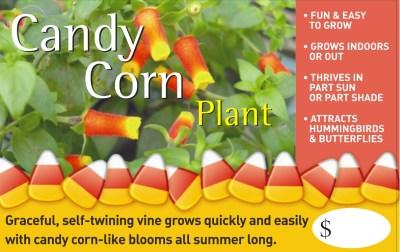 Candy Corn Plant