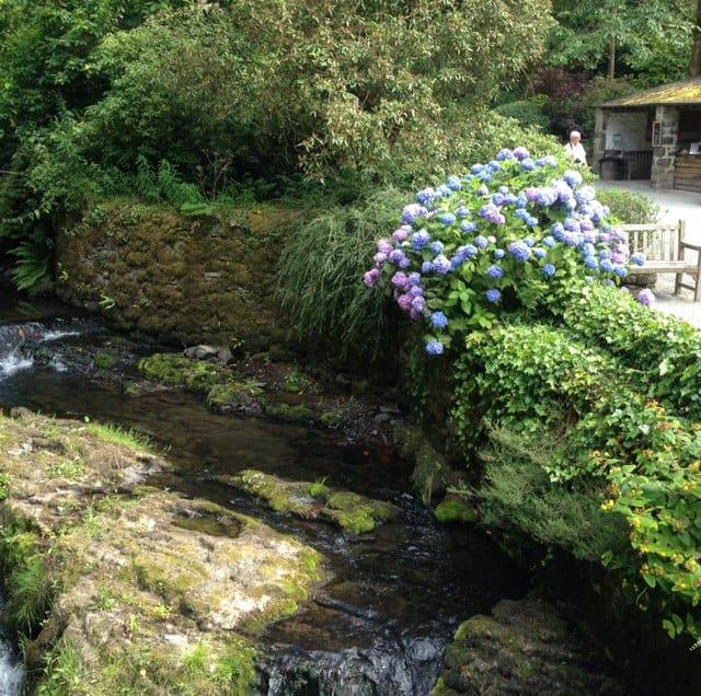 hydrangea along river 2