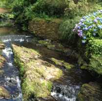 hydrangea along river