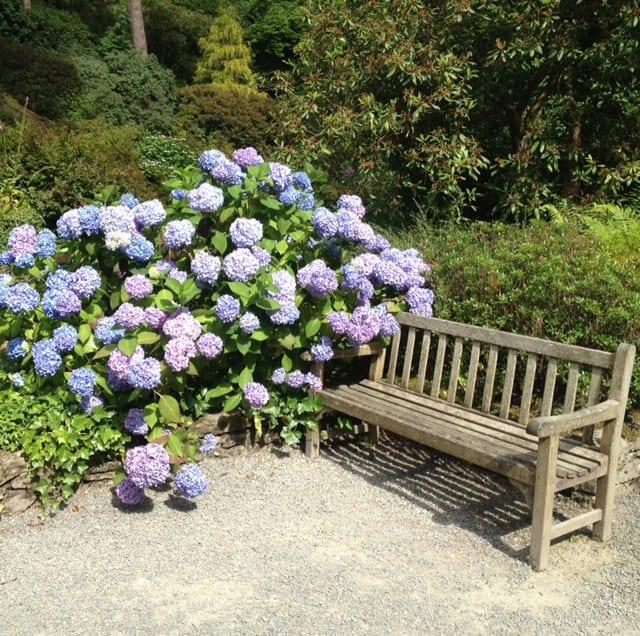 hydrangea next to bench
