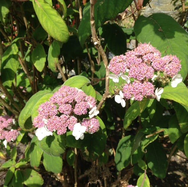 hydrangea pink in garden