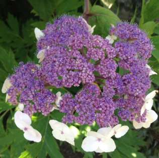 hydrangea white just opening